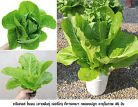 100% HYDROPONIC SEEDS Green Cos Lettuces 200 Seeds