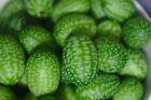 10 Cucamelon Mouse Melon Sour Gherkin Seeds | Melothria Scabra RARE MINI's