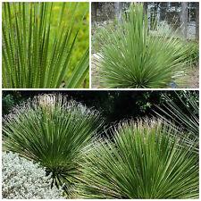 10 semi di Dasylirion texanum, piante succulente, piante grasse,seed succulents