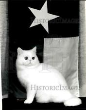 "1985 Press Photo White exotic shorthair cat ""Klasikats' Rainbo Connection."""