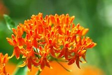 Asclepias tuberosa (Butterfly Milkweed) x 10 seeds. Perennial. Gift in store