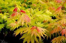 Acer shiraswanum Autumn Moon in 7cm pot ideal bonsai subject