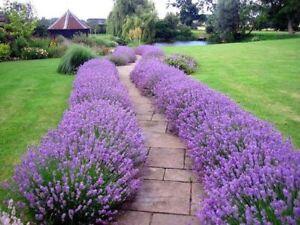 80 х Lavender Lavandula seeds