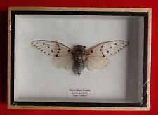 REAL EXOTIC CLEAR WINGED WHITE GHOST CICADA BEETLE TAXIDERMY FRAMED INSECT