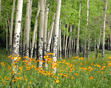 VLIES Fototapete-BIRKEN WALD-(342V)-350x260cm-7 Bahnen 50x260-Blumen Wiese Bäume