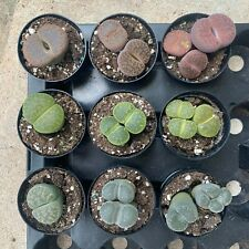 "Lithops ""Living Stones"" ""Split Rocks"" Fully Rooted Free Shipping"