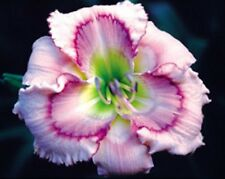 New listing Mysterious Eyes (Stamile,P) 2004 Tet daylily