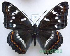 Limenitis populi (Linnaeus, 1758) Poland 62mm36