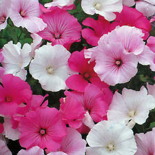 Lavatera trimestris Mix - 300 Semillas - Anual