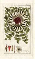 Antique Botanical Print-CARLINA ACAULIS-THISTLE-Zorn-1796