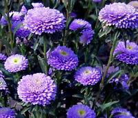 ASTER POMPON BLUE Callistephus Chinensis - 100 Bulk Seeds