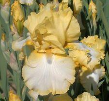 "New listing Tall Bearded Iris ""Don Pedro Sunshine:"