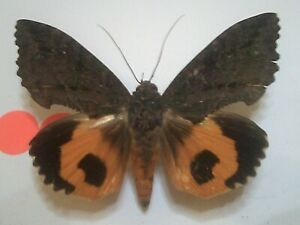 Real Insect/Butterfly/Moth Set Spread B7807 Rare Male? Orange Eudocima fullonia