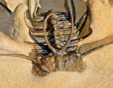 Spiny Ceratonurus Trilobite fossil From the Devonian Museum quality preparation