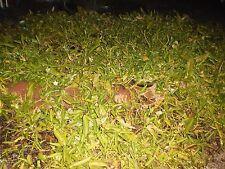 Water Spinach,  Bare Roots ( rau muống, on choy, kongxincai,  kangkong, trokuo