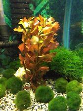 Rote Ludwigia - Ludwigia mullerti - rote Wasserpflanze, Aquariumpflanzen