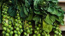 60 Graines de Choux de Bruxelles Non Traité seeds plantes légumes jardin potager