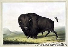 Buffalo Bull Grazing by George Catlin - 1845 - Historic Art Print