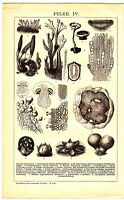 1895 Mushroom Fungi Species,Mycology Antique Lithograph Print