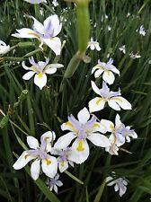 SEEDS 10 graines d' IRIS SUD-AFRICAIN(Dietes Grandiflora) BUTTERFLY IRIS SEMI