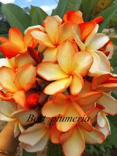 "Plumeria//Frangipani//Flowers///""Coral Orange/""//50 seeds"