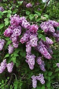 "Lilac Bush - Very Fragrant 20""+ Tall - Perennial"