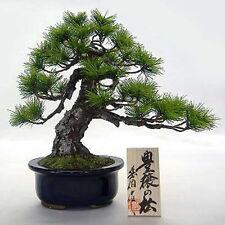 "Bonsai Replica Pine Tree ""Houjou no Matsu"" from Japan"