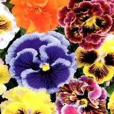 Stiefmütterchen Viola Mix Blumen Pflanze 200 Samen Nr.356