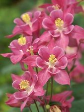 Columbine Seeds Aquilegia Winky Single Rose Rose 25 Seeds Perennial