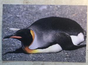Postcard ~ King Penguin on  belly