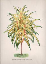 1889 L'Illustration Horticole Croton Bellulum Large Chromo by J. Linden