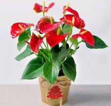 10pcs Bonsai Tree Anthurium Seeds Japanese House Plant Indoor Decoration Garden