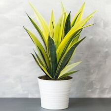 Sansevieria Golden Flame - Snake Plant | Best Indoor Plants | 30-40cm with Pot