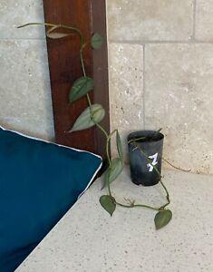 """Philodendron Burle Marx Fantasy """"Rare Aroid"""""""