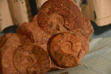 3 ammonites Leioceras opalinum et comptum, Ludwigia crassa aalénien