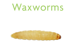 Live Wax Worms for Fishing, Pet Food (50 to 1000) - FREE  DELIVERY