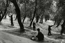 GIANNI BERENGO GARDIN - Harvesting Olives, Italy, 1993 - Photo Litho