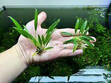 Aridarum Caulescens Rare Live Aquarium Plants Freshwater