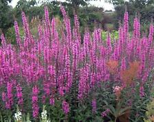 PURPLE LOOSESTRIFE LYTHRUM ROSY GEM 10 GRAM ~ APPROX 230,000 SEEDS