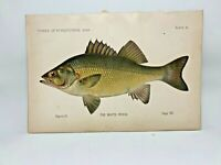 Scarce First Denton Fish Print - 1889 - White Perch - Original