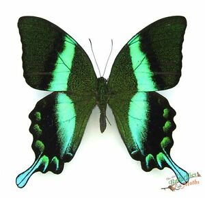 Papilio Blumei Real Green Butterfly x1  A- Specimen *NICE* Entomology insect