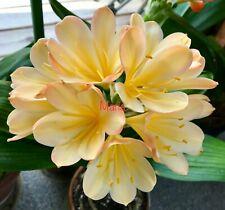 2 Amaryllis Usa Clivia Seeds Tk Daruma Yellow #1 X Chinese Yellow Blush