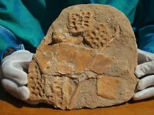 Crocodile Skull section 50 Million Years old