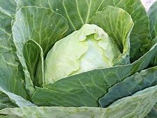 Cabbage Early Jersey Wakefield Great Heirloom Vegetable 800 Seeds