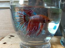New listing Live betta fish Male King Crown tail # (Imported from thailand)