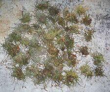 35+ South Florida Tillandsia Crocata Tristis Spanish Moss Air Plants