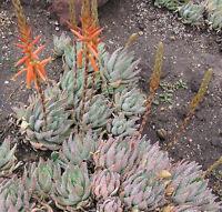 Dwarf Dune Aloe - Aloe brevifolia - Fresh Seeds