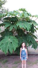 "Tetrapanax papyrifera ""steroidal giant"" (500 Seeds/graines)"