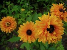 Rudbeckia Seeds Goldilocks 200 Flower Seeds PERENNIAL
