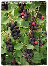 Amelanchier canadensis 'Juneberry' 20+ SEEDS